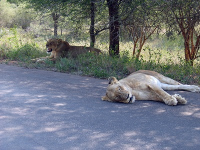 Lions at Kruger National Park, South Africa